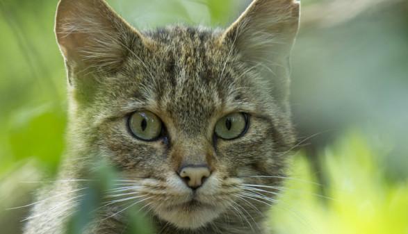 Großaufnahme Wildkatze © MGraf, Nationalpark Thayatal