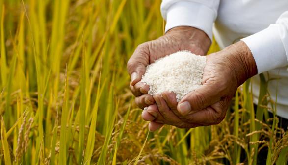 Hände halten Basamti-Reis  © kazoka303030, stock.adobe.com